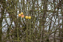 Oxford_Canal_[South]_Apples-001.jpg